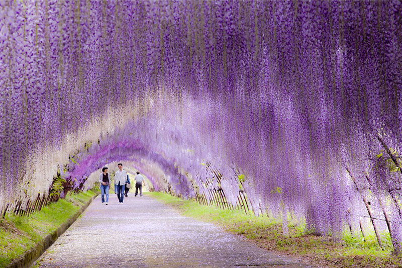 Wisteria Flower Tunnel - Ιαπωνία